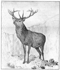 drawing of a stag deer by charles burton barber